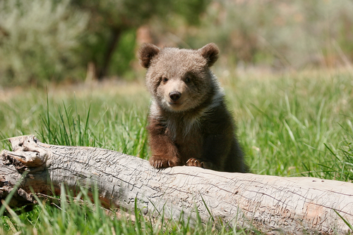 Little bear cub